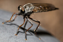 Closeup Of Robber Fly Insect Asilidae Or Assassin Fly With Spiny Legs And Large Eyes Sitting On Grey Stone In Nature