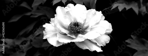 Tela Camellia flower with blurred background. Black white photo.