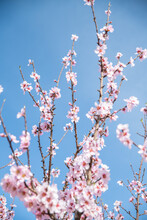 Wooden Twig With Almond Pink Blooms Flowers During Springtime Against Blue Sky