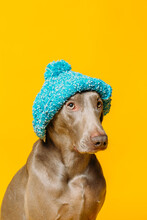 Adorable Funny Purebred Weimaraner Dog Dressed In Blue Knitted Hat Sitting Against Yellow Background In Studio