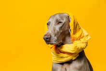 Adorable Purebred Weimaraner Dog With Yellow Headscarf On Head Sitting Against Yellow Background In Studio