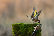 European Goldfinch, Carduelis Carduelis Fight On A Stump With Moss