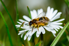 A Bee Is Collecting Honey On A Flower