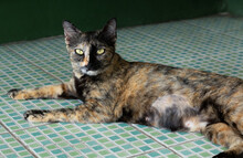 Female Domestic Thai Cat Has Tri-color Sitting And Relaxing On The Green Tile Floor