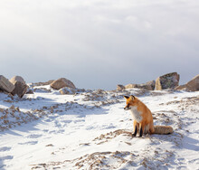 A Fox Sits On Top Of A Snow-covered Rocky Mountain And Waits For Summer