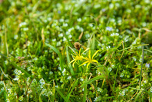 Gagea Pratensis - Called Yellow Star Of Bethlehem And Bombylius Major, Bee Fly, Of The Family Bobmyliidae In The Meadow With Plant Background Chickweed - Stellaria Media In Springtime