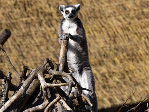 Fototapeta premium The female Ring-tailed Lemur, Lemur catta, stands on a branch and observes the surroundings.