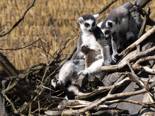 Fototapeta premium A female Ring-tailed Lemur, Lemur catta, sits with a cub on a branch and watches another female.