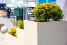 Flower Cube Of Concrete With A Decorative Pine Tree