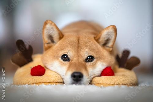 Valokuva chien shiba inu tête posée sur les chaussons