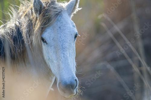 Photo Camargue-Pferd