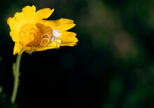 Thomisus Onustus, White Spider Or Crab Spider Hiding In A Yellow Daisy To Be Able To Hunt Some Prey