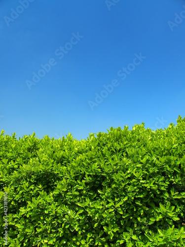 Obraz na plátně マサキの生垣と春の青空