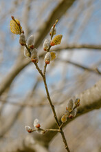 Branch With Buds