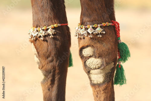 Camel jewelry Fototapet