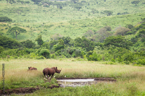 Valokuvatapetti White Rhino at a watering hole in the green terrain of South Africa