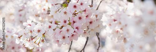 ワイド幅撮影した満開の桜の花