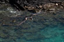 Frigatebird At Darwin's Bay