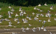 Flock Of Black-headed Gulls In Flight With Green Nature Background - Chroicocephalus Ridibundus