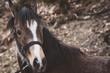 canvas print picture - Fohlen / Ponyfohlen