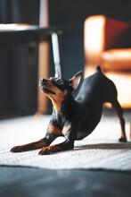 Miniature Pinscher Dog In Studio