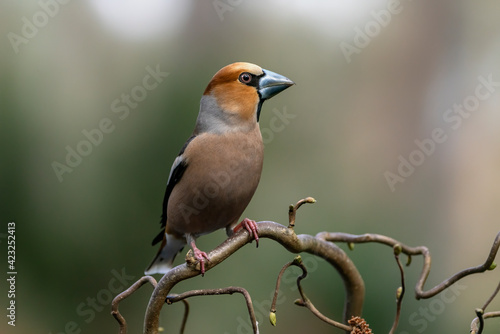 Fotografie, Obraz Beautiful Hawfinch (Coccothraustes coccothraustes) on a branch in the autumn forest of Noord Brabant in the Netherlands