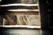 Elephant Peers From Behind Fence At The Elephant Nature Park In Chiang Mai, Thailand.