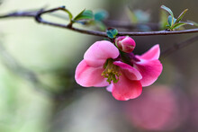 Quince Blossom With Bokah Background