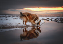 Beautiful Collie By The Water At Sunrise