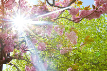 Scenic View Of A Cherry Blossom Tree With The Sun Shining Through.