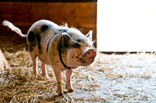 Large Rescued Pot Bellied Pig On Farm In Up  State New York