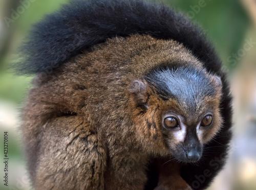 Fototapeta premium Black Lemur (Eulemur macaco)