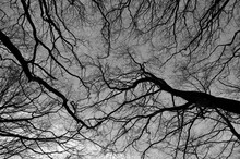 An Upwards View Of The Branches Of Winter Forest Trees Against A Grey Sky Sky
