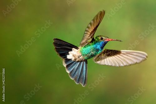 A broad billed humming bird in mid air.