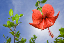 Red Hibiscus Flower With Blue Sky