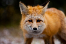 A Red Fox (vulpes Vulpes) Looks For Food After An Early Fall Sno