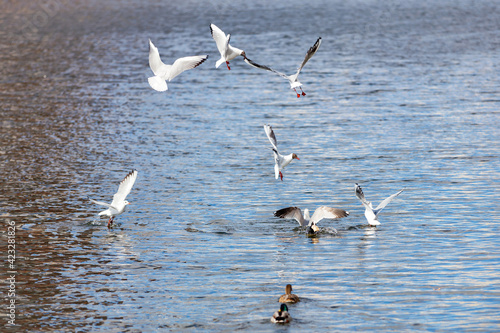 White river gulls on the water in dogfight bird fighting for food Fotobehang