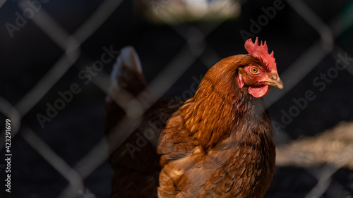 Canvas Print A picture of a Chicken.