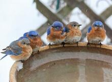 Group Of Bluebirds At Winter Birdbath