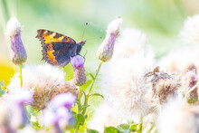 Aglais Urticae, Small Tortoiseshell Butterfly Isolated By Nature