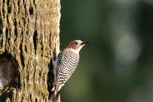 Red Bellied Woodpecker Melanerpes Carolinus On A Tree