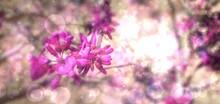 Chiness Redbud 박태기나무