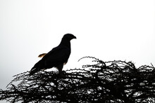 Silhouette Of Tawny Eagle Perched On Thornbush