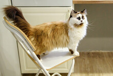 Funny Colorful Cat Sitting On A Chair In The Kitchen