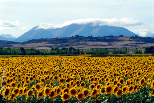 Sunflowers in the north of Palencia and the Palentina Mountains. Spain