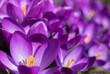 Krokusy, wiosna