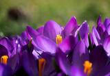 Fototapeta Kwiaty - Krokusy - wiosna