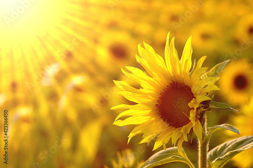 Fototapety, obrazy: Sunflower in the Field Background Interior Wall Decoration Design