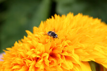 An Insect Fly Sits On A Yellow Flower.