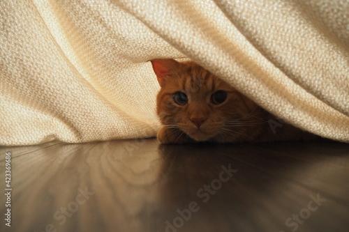 Fototapeta Rudy kot patrze z pod przeświecającego kocu obraz